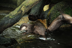 Otter in Singapore Zoo. Close up of Otter in Singapore Zoo Stock Photography