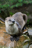 Otter sitting on the stone Royalty Free Stock Photos