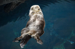 Otter sleeps and floats on his back. Royalty Free Stock Image