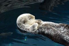 Otter sleeps and floats on his back. Stock Photo
