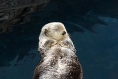 Otter sleeps and floats on his back. Royalty Free Stock Photography
