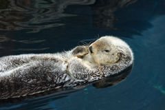 Otter sleeps and floats on his back Stock Images