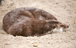 Otter sleeps on sand, Royalty Free Stock Photo