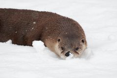 Otter in the snow Stock Photo