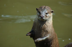 Otter standing Royalty Free Stock Image