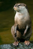 Otter standing on the river. Otter aonyx cinerea standing on the river at wilderness Royalty Free Stock Images