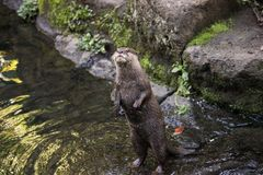 Otter standing in the river stream on the look out. Otter standing in the river stream with its small claws looking for prey the river fish royalty free stock photo