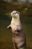 Otter-Stellung Stockfotografie