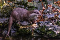 Otter on stones royalty free stock photography