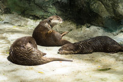 The otter sunbathe Stock Photo