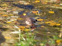 Otter is swimming Stock Photos