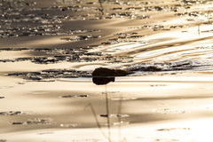 Otter Swimming on Calm Lake at Sunset. An otter pushes through a calm lake riddled with lillypads. The lake has a beautiful golden sheen on it due to sunset Royalty Free Stock Image