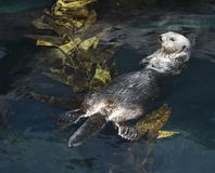Otter swimming on its back. royalty free stock photos