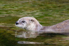 Otter swimming in the water Stock Image