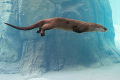 Otter swimming in water Stock Photo