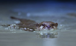 Otter swimming Royalty Free Stock Photography
