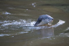 Otter swims. Through jungle river with head above water and clear view of face Royalty Free Stock Images