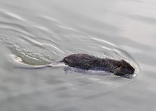 OTTER swims in pond water in search of food Stock Photography