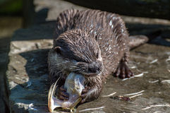 Otter taste a chicken on lunch. Otter with big raw chicken Stock Image