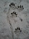 Otter tracks in mud. Otter tracks in dirty mud Stock Image