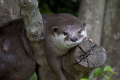Otter on tree branch. Otter laying on a tree branch in a zoo Stock Photos