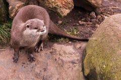 Otter und Pfotenabdrücke Stockfotos