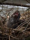 Otter-Verkratzen lizenzfreie stockfotos
