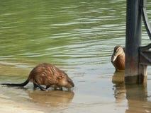 Otter von Russland stockbild