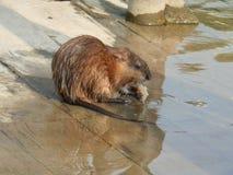 Otter von Russland stockbilder