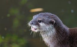 Otter voor vijver Stock Afbeeldingen