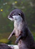 Otter vor Teich Stockfotos