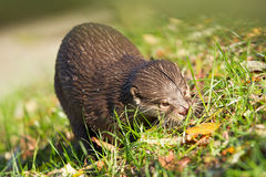 Otter is walking in the grass royalty free stock photo