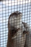 Otter want escape. Otter hold on fence try to escape Royalty Free Stock Images