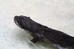 Otter in the water Royalty Free Stock Images