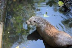 Otter. Wet brown otter stock photo