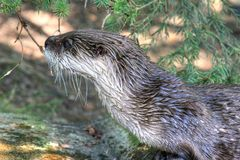 Otter with wet hair Royalty Free Stock Images