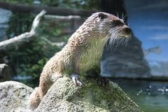 Otter who came to see the visitors. A curious otter who came to see the visitors stock image