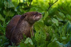 Otter in Wildpark Neuhaus. Wildpark Neuhaus,Park full of animals un Germany Royalty Free Stock Photos