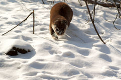 Otter in the winter forest Stock Images