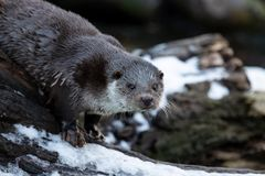 Otter in winter, with snow stock image