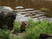 Otter in zonneschijn royalty-vrije stock afbeelding