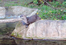 Otter in the zoo Royalty Free Stock Images