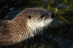 Otter. In zoo in Prague Stock Photos