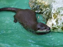 Otter at the zoo in Zagreb stock photography