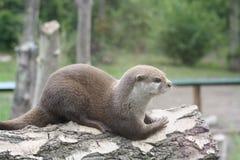 Otter6 Royalty Free Stock Photo
