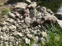 Otterfamilie 2 Lizenzfreies Stockbild