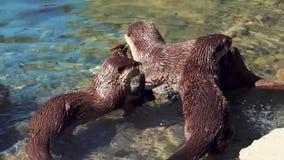 Otterfamilie stock footage