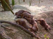 Otterfamilie Lizenzfreies Stockfoto