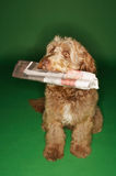 Otterhound Carrying Newspaper In Mouth Royalty Free Stock Images