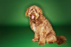 Otterhound, der mit der Zunge heraus sitzt Lizenzfreie Stockfotografie